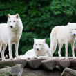 Arctic Wolves — Stock Photo #32484581