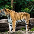 Dangerous tiger — Stockfoto
