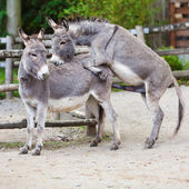 Two donkeys — Stock Photo