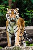 危险的老虎 — 图库照片
