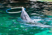 Dolphin playing with a hoop — Stock fotografie