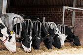 Bir çiftlikte inekler. bir çiftlikte süt inekleri. — Stok fotoğraf
