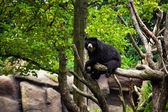 Bir ağaç üzerinde amerikan kara ayısı. — Stok fotoğraf