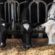 Foto Stock: Dairy cows in farm.