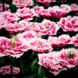 Beautiful tulips - spring flowers — Stock Photo