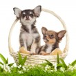 Chihuahua puppies in a basket in front of white background — Stock Photo