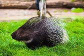 Kirpi hayvanat bahçesinde — Stok fotoğraf