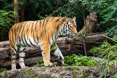 在自然中的老虎 — 图库照片