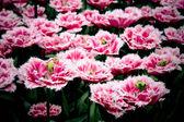 Beautiful tulips - spring flowers — Stock Photo