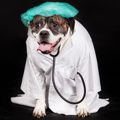 American Bulldog dressed in a doctor coat — Stok fotoğraf