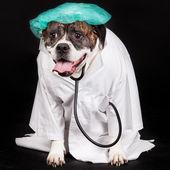 Bulldog americano vestida con una bata de médico — Foto de Stock