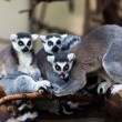 Stock Photo: ring tailed lemur&quot