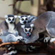 ring tailed lemur&quot — Stock Photo #32929307