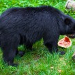 Black Bear — Stock Photo #32929573