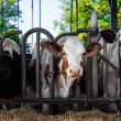 Dairy cows in a farm. — Stock Photo
