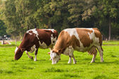 Cows on meadow. — Stock Photo