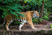 Tiger in de natuur — Stockfoto