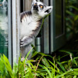 ring tailed lemur&quot — Stock Photo #33094097
