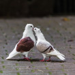 Two loving  doves.  Two pigeon — Stock Photo #33094313