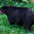 Black Bear — Stock Photo #33094331