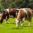 Cows on meadow. Grazing calves — Stock Photo #33094577