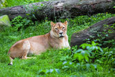 Lioness lying in the grass — Stock Photo