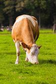 Mucche sul prato. vitelli al pascolo — Foto Stock