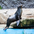 Sea Lion — Foto Stock