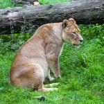 Lioness — Stock Photo #33381613