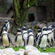 pinguins — Foto Stock #33381699