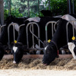 Cows in a farm — Stock Photo