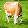 Cows on meadow — Stock Photo #33382053