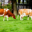 Cows on meadow — Stock Photo #33382083