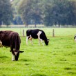 Cows on meadow — Stock Photo #33382129
