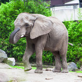 African elephant — Stockfoto