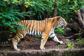 Tiger — Photo