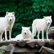 Stock Photo: Arctic Wolves