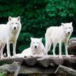 Stockfoto: Arctic Wolves