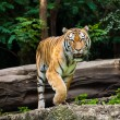 Animals - tiger — Stock Photo