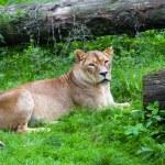 Lioness — Stock Photo #33649967