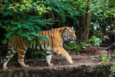 Tiere - tiger — Stockfoto