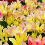 Beautiful tulips field. Beautiful spring flowers. — Stock Photo #33650585
