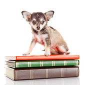 Dog on books. Chihuahua puppy — Stock Photo