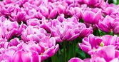 Beautiful tulips field — Stock Photo