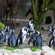 pinguins — Foto Stock #33981753