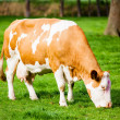 Cows on meadow — Stock Photo #33982085