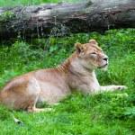 Lioness — Stock Photo #33982775