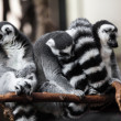 ring tailed lemur&quot — Stock Photo #33983035