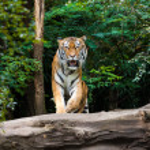 A Tiger — Stock Photo #33983475