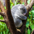 Sleeping koalas. Koala Bear — Stock Photo